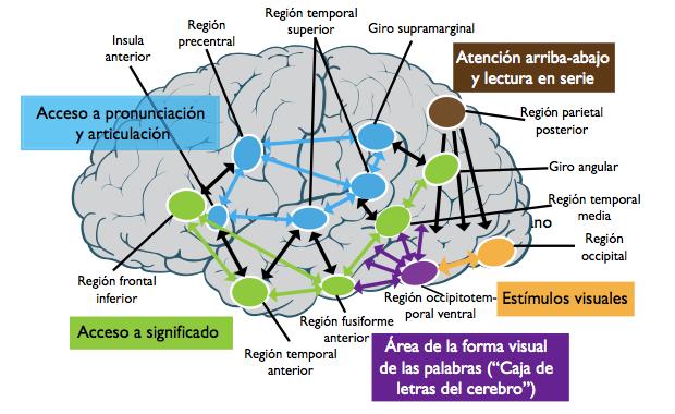 Partes_del_hemisferio_izquierdo_que_intervienen_en_la_lectura